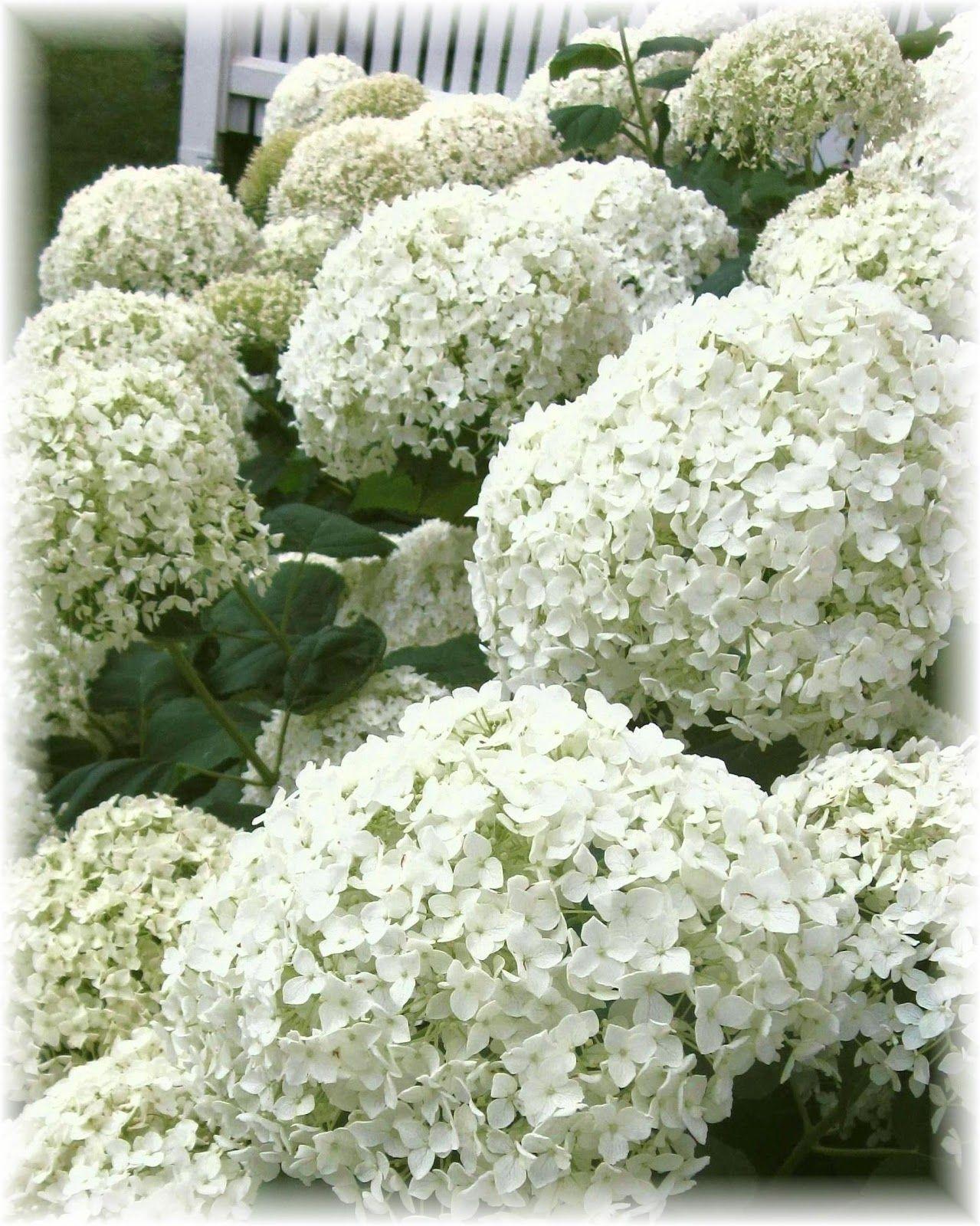 White Hydrangeas Planting Flowers White Gardens Garden Inspiration