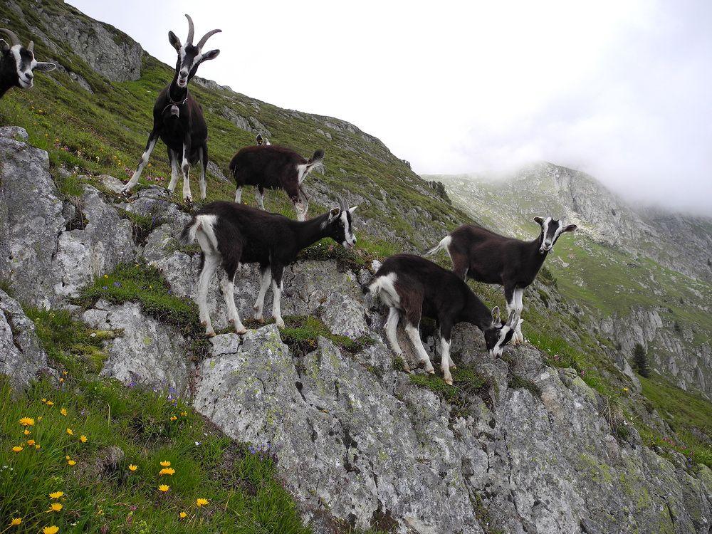 Ziegenbock Ich Hab Hier Die Grosse Glocke Ziege Natur Tiere Tiere