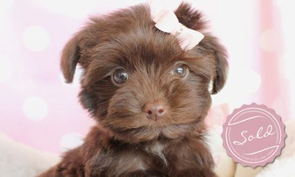 Yorkie Poo Designer Breed Puppy For Sale Click Here To