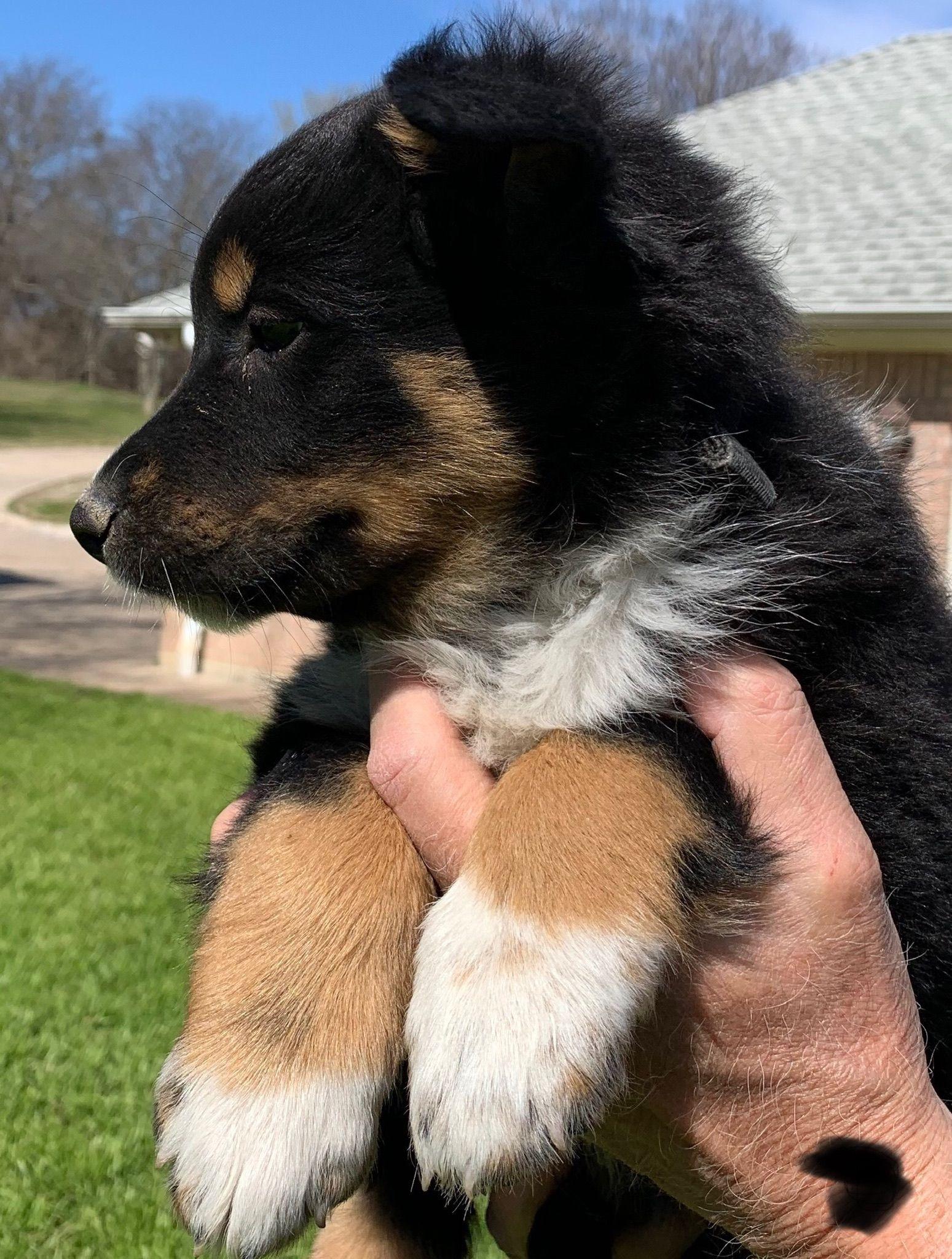 Rocky in 2020   Puppies, Puppy adoption, English shepherd ...