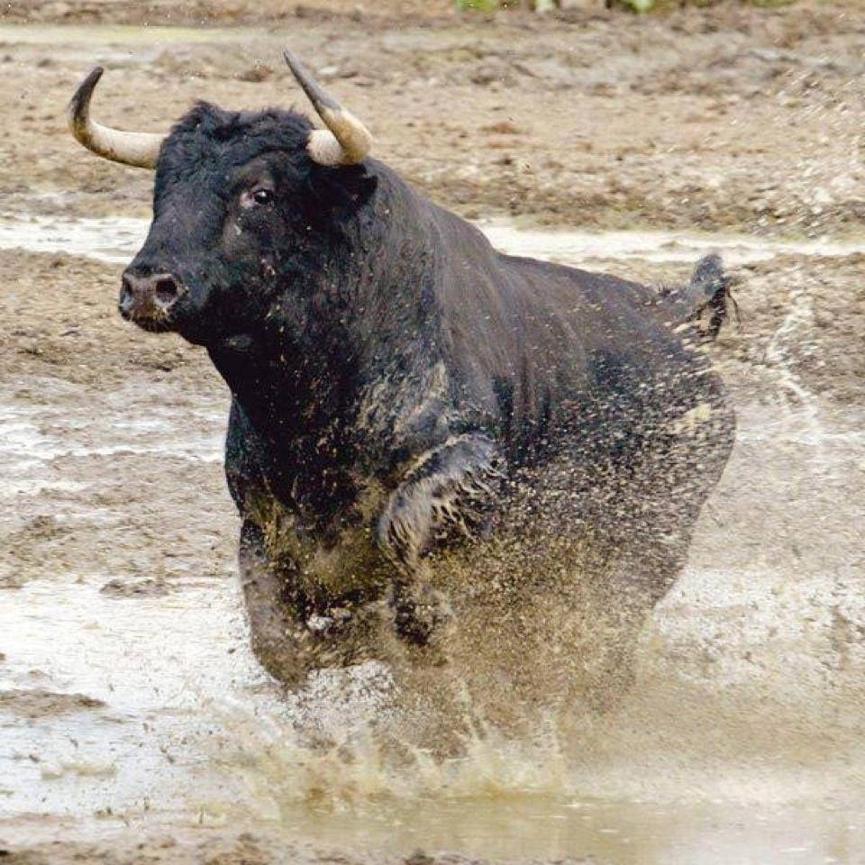 Espectacular Encaste Bravura Y Estampa Taurus Bull Bull Riding Bull Cow