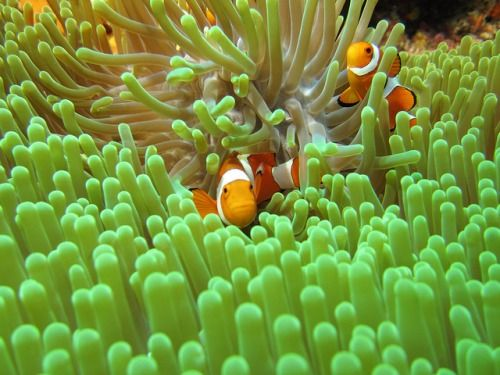 False Clown Anemonefish (Amphiprion ocellaris) on Flickr.Via Flickr: Bunaken, Manado - Indonesia