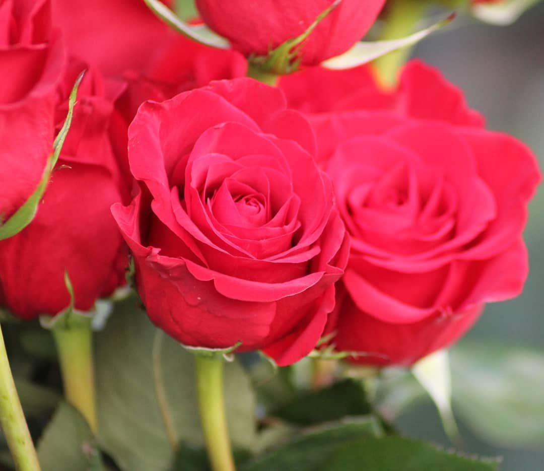 Ho lavorato ad un progetto per una fiorista,  per me i fiori sono delle opere d'arte,  bellissimi da immortalare!  Ecco a voi il fiore dell'amore.. la rosa rossa 🌹🌹 . . .  #picoftheday #photooftheday #photos #canon #amazing #phothograper #photograpylovers #beatiful #wonderful #nature #beauty #simply  #like #likeforfollow #follow #follower  #likeforfollow #like4like  #rose #red #nature  #all_shots #art #capture #colorful #composition #exposure #focus #pic #pics #picture