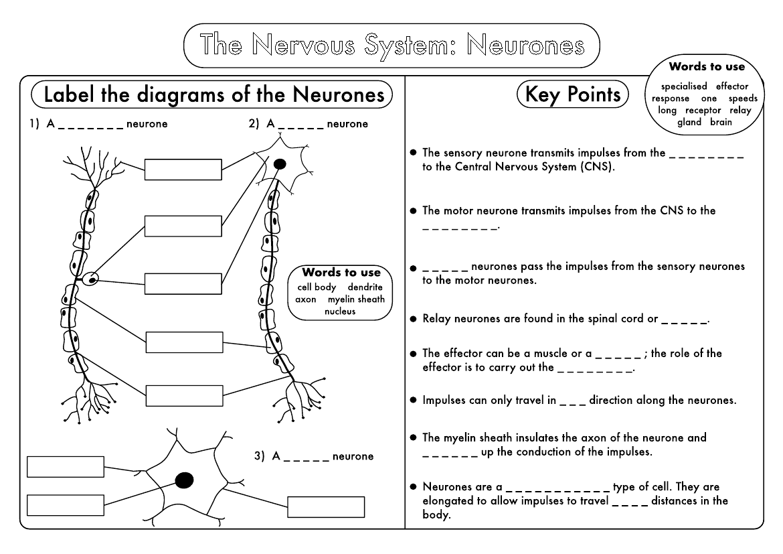 Sensory Neuron Diagram Labeled Gcse
