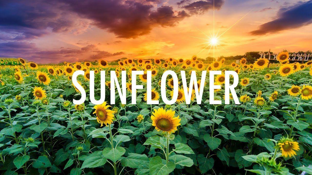 Post Malone Swae Lee A Sunflower Lyrics Dÿzµ Youtube Post Malone Lyrics Post Malone Sunflower