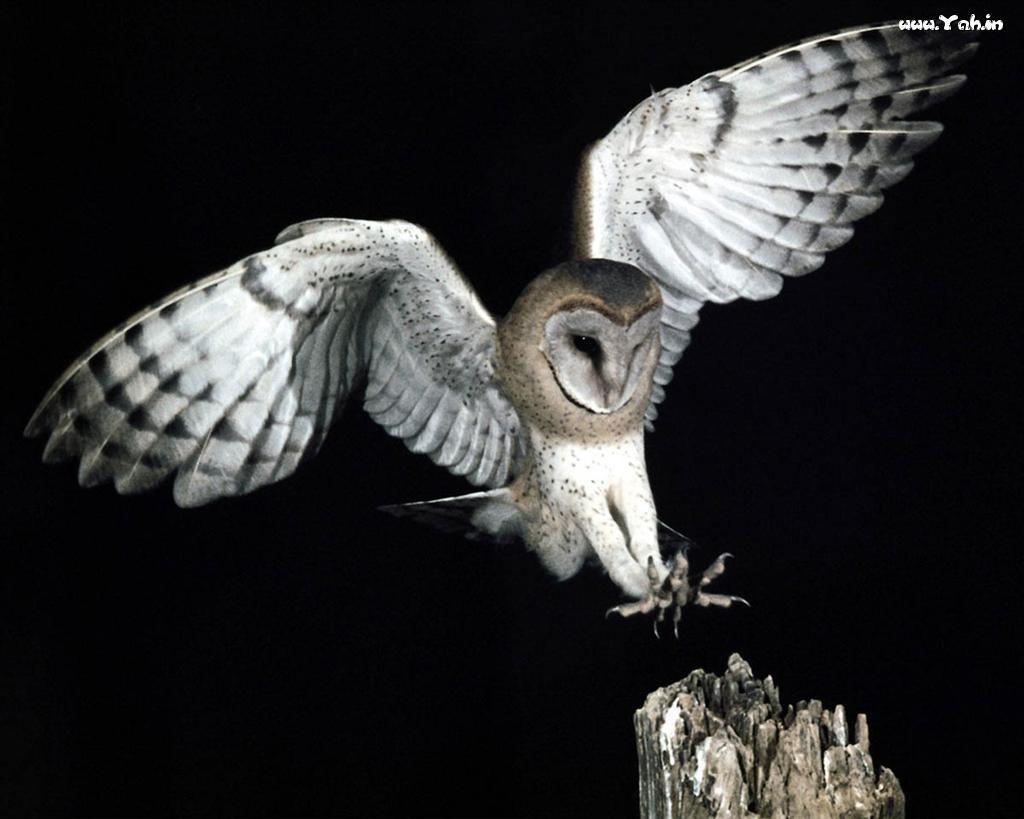 слову, фото летящей белой совы в графике поздравления мужчине