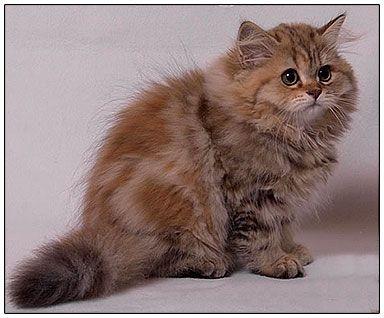 British Longhair Cats Blh Highlander Britanica Lowlander Colour