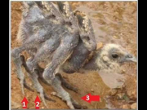 KFC chicken with 6 WINGS / 6 LEGS / WITHOUT FEATHER // MUTATION