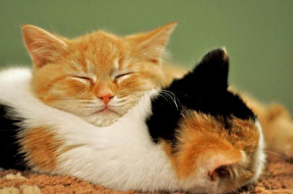 Mabel's calico sister makes a great pillow!