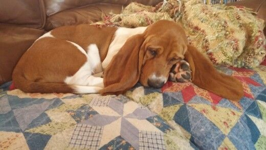 3 1/2 month old Murphy. | Basset hound, Basset, Hound