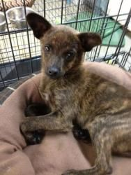Pepsi Is An Adoptable Chihuahua Dog In Surrey Bc Hello And