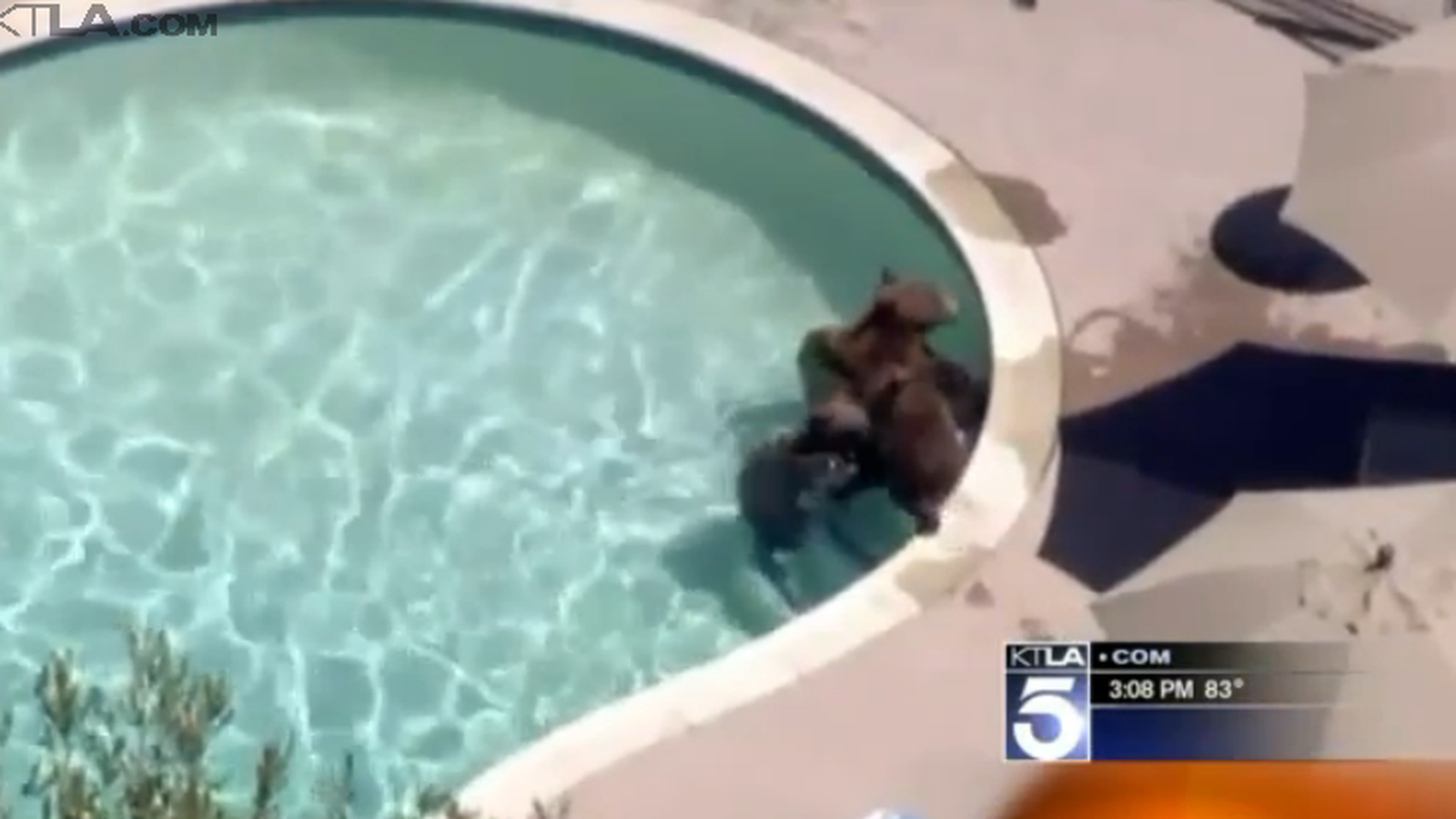 Listen these bears just want to go for a swim