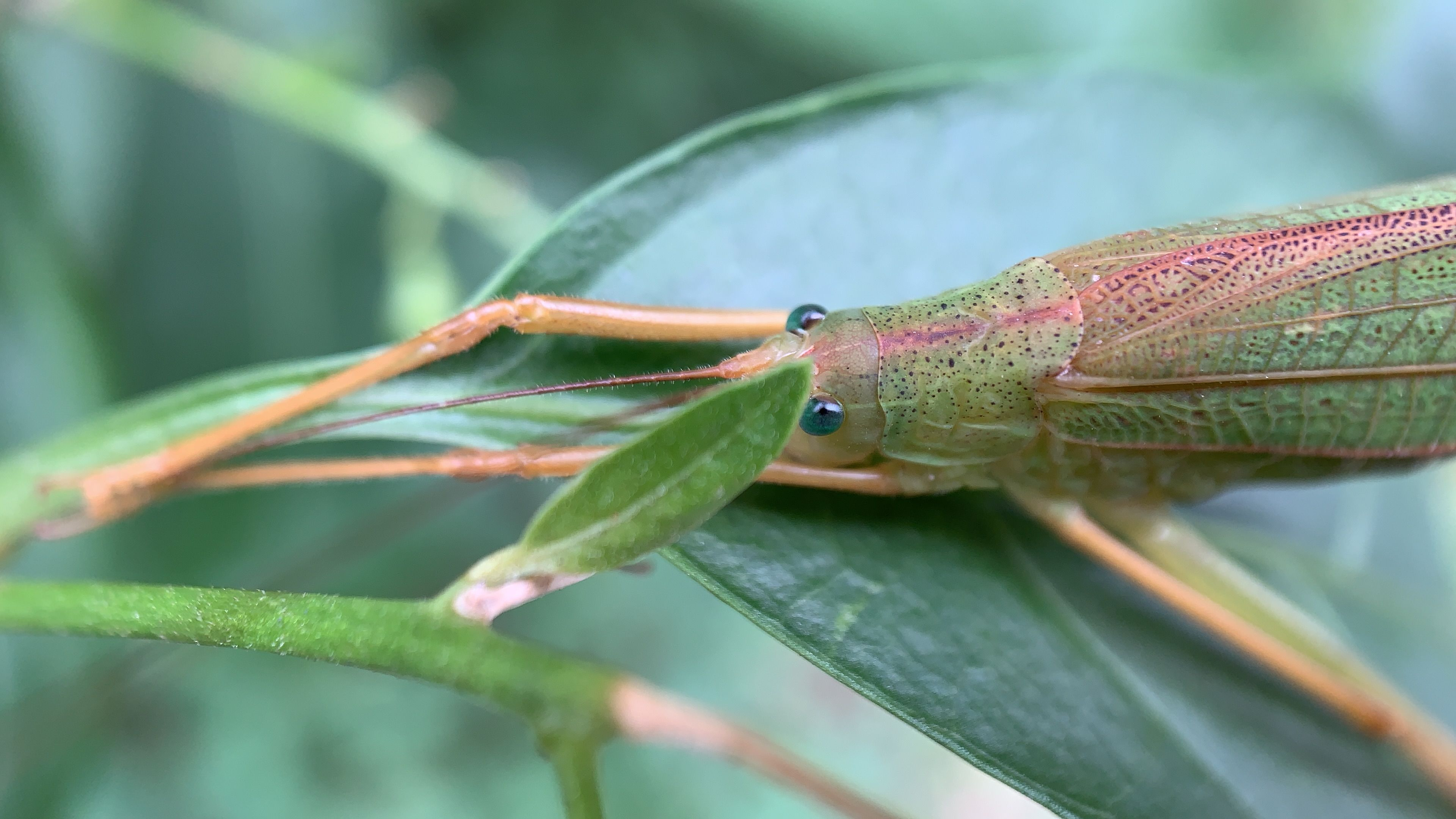 A Grasshopper On A Leave By The Hd Macro Lens For Iphone