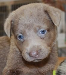 Indigo is an adoptable Australian Shepherd Dog in Poland, IN. **Please send us an email in addition to your application!!** 7 weeks Adoption Fee: $300 The adoption fee is non-negotiable. We are a not ...