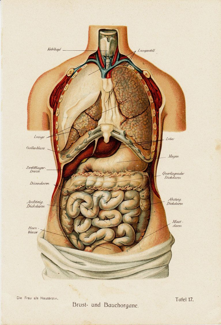 1919 Antique Anatomy print, Chest and abdominal organs. | Imágenes ...