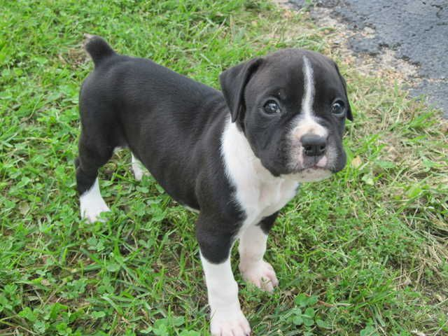 Boxer Puppy Awww Boxer Puppies White Boxer Puppies Puppy Images