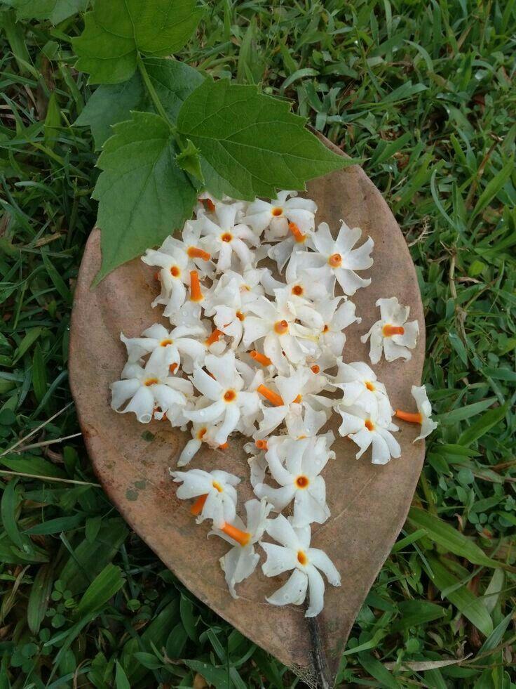 Parijat Beautiful flowers, Flower wallpaper, Planting