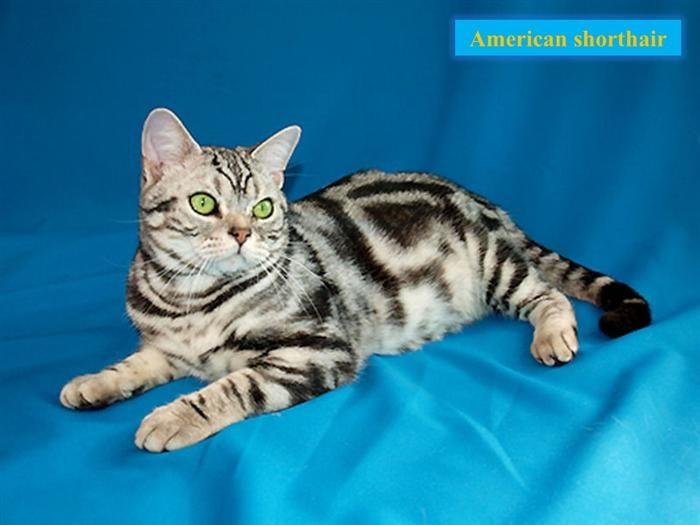 British Shorthair Kittens British Shorthair For Sale British Shorthair Kittens For Sale British Shorthair Breeders British Shorthair British Shorthair Cat