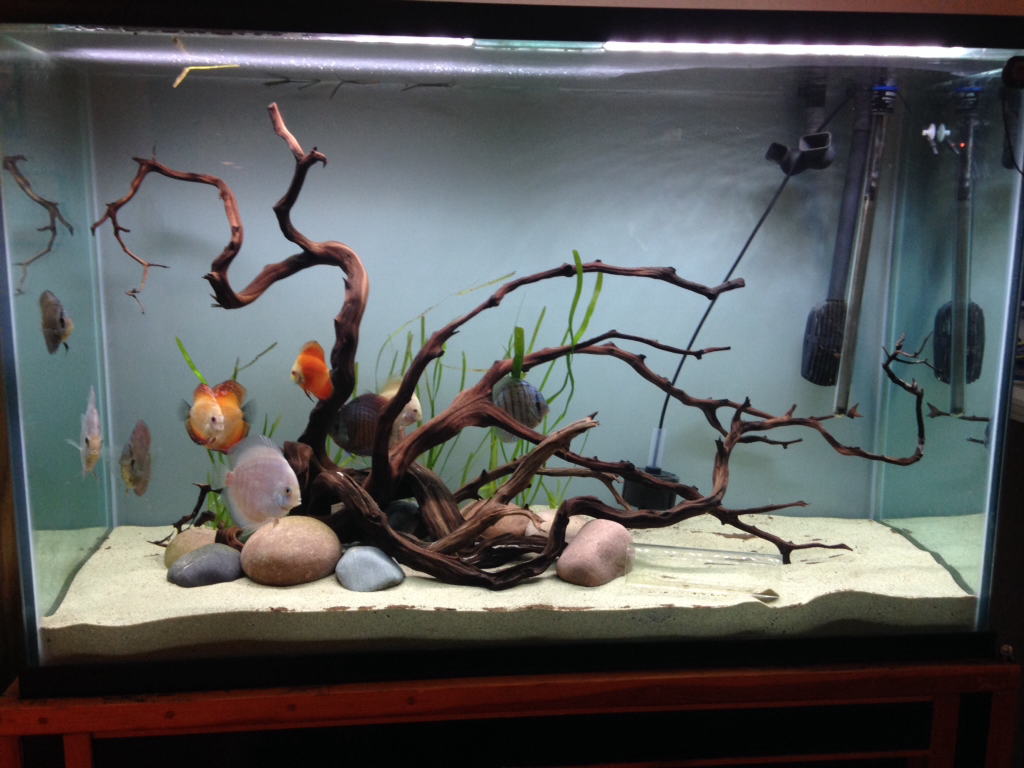 115g Simple Discus Tank Fishes Discus Tank Fish