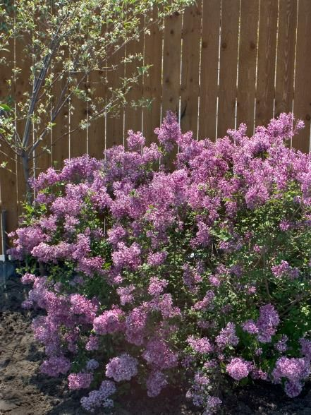 Flowers And Plants For Winter Color Bloomerang Lilac Flowering Shrubs Lilac Bushes