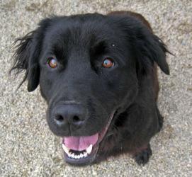 Adopt Ash On Retriever Dog Labrador Retriever Labrador
