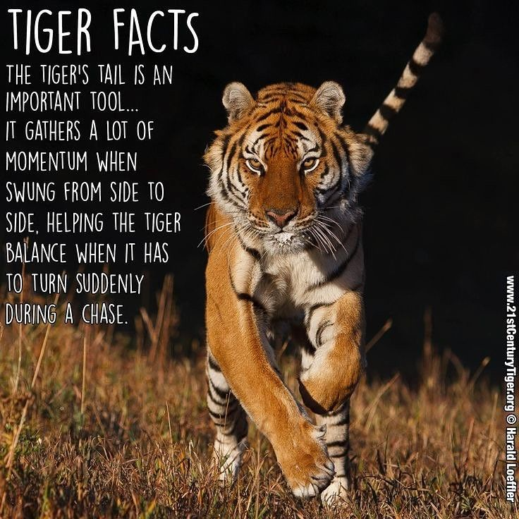 Tiger Fact The Tigers Tail Whips Side To Side Helping Maintain Balance While Running Tiger Facts Endangered Animals Lessons Animal Spirit Guides