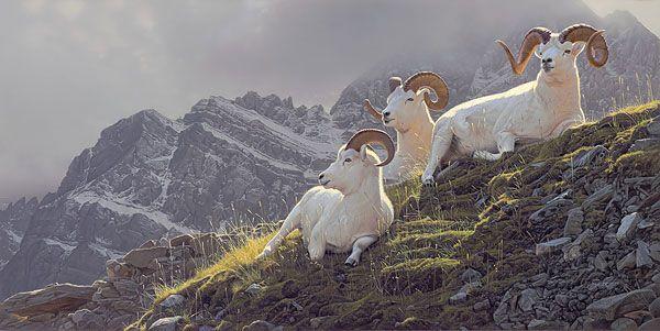 Daniel Smith - Summit Sanctuary - Dall sheep painting