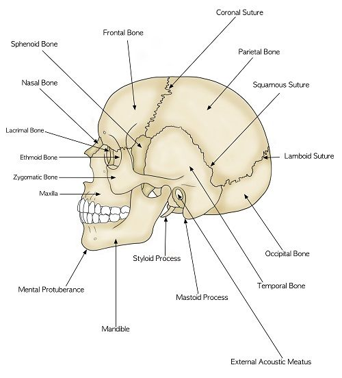 Parts of the Human Skull  Biology101 Study Guide