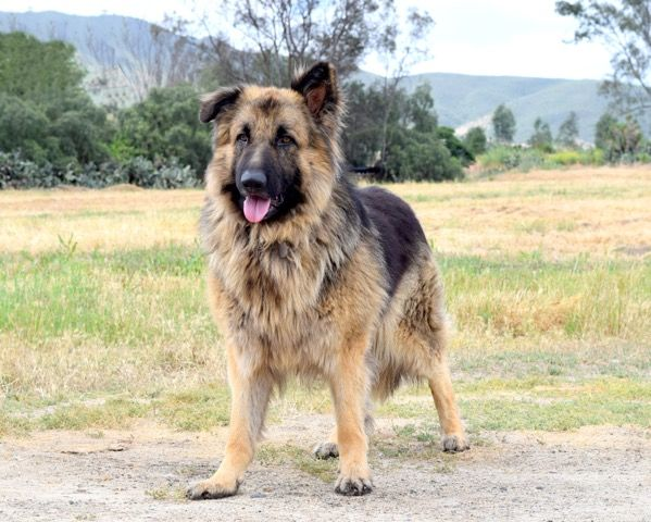 German Shepherd Dog Dog For Adoption In San Diego Ca Adn 563285