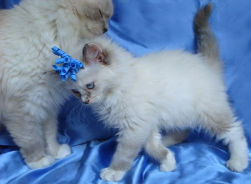 Savannah One Of Her Ragdoll Kittens Ragdoll Kitten Ragdoll Kittens For Sale Kittens