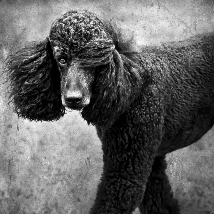 --Standard Poodle with fur across face (by Wolf Shadow Photography)