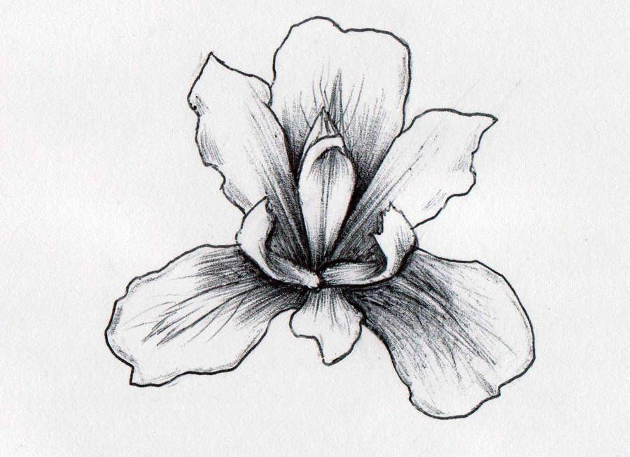 Iris Flower By Xantheunwinart Iris Drawing Iris Flower Tattoo Pencil Drawings Of Flowers