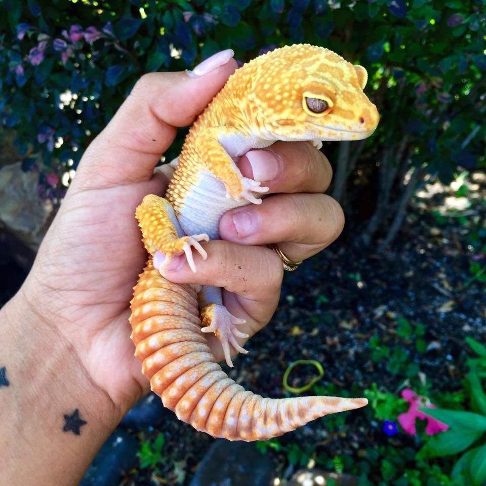Leopard gecko | Bearded Dragon Cage | Pinterest | Victoria, Animales ...