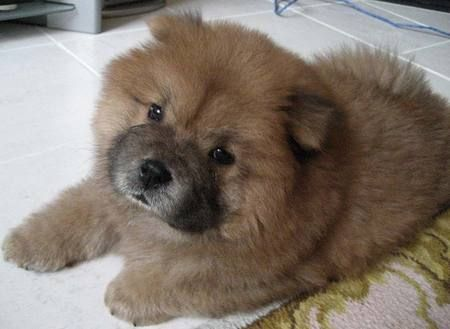 Reminds Me Of Roscoe When He Was A Baby Doydoy The Chow Chow