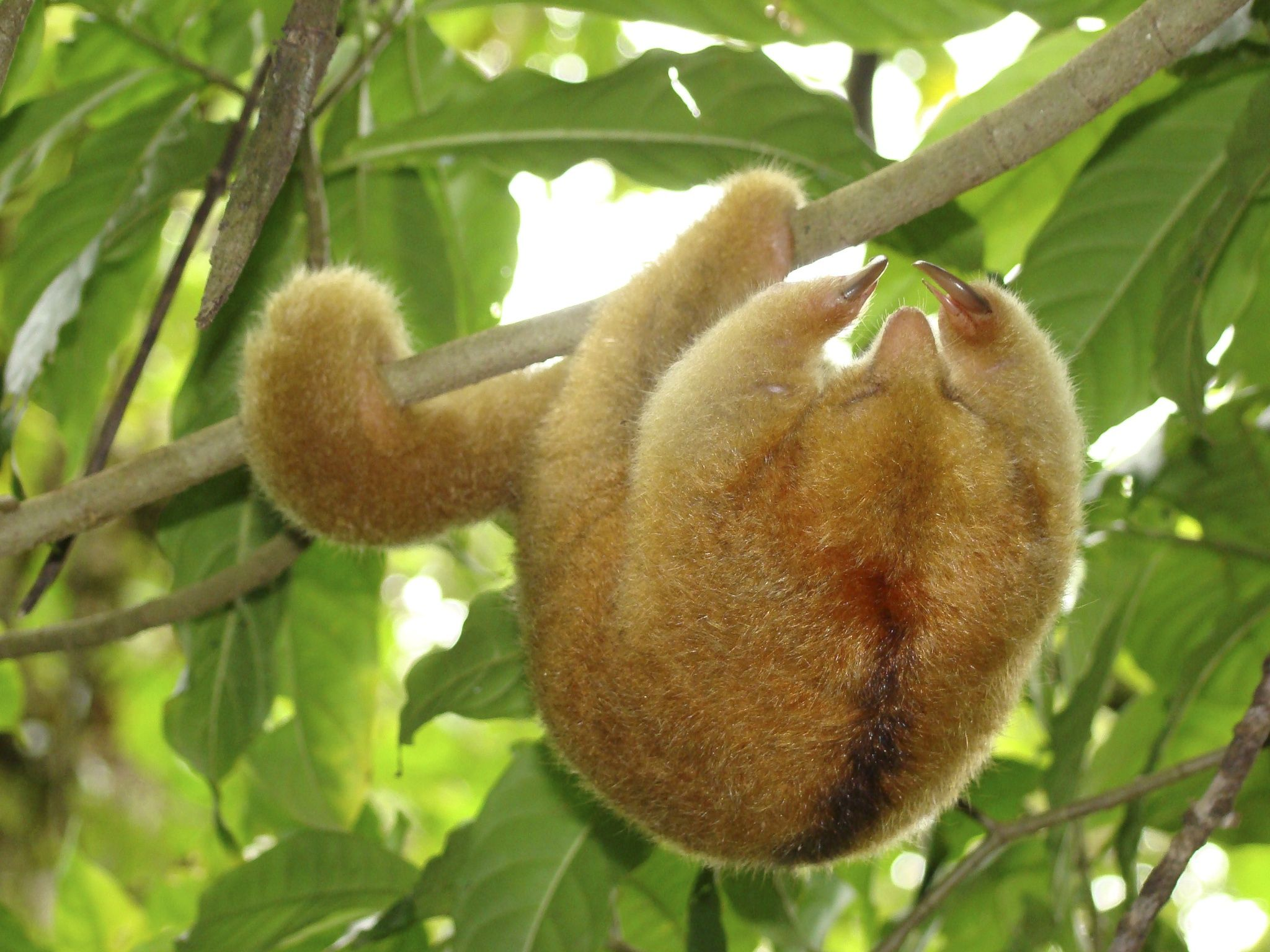 Silky Anteater Or Pygmy Anteater Cyclopes Didactylus By