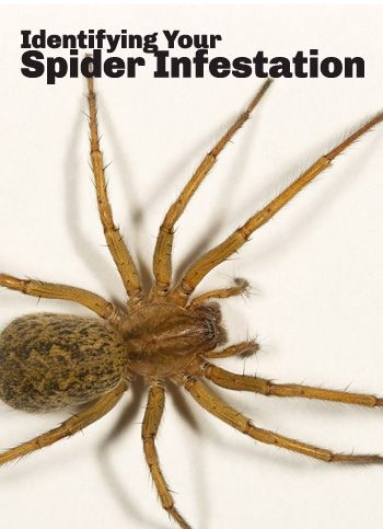 Identify your spider infestation: a guide to common spider species