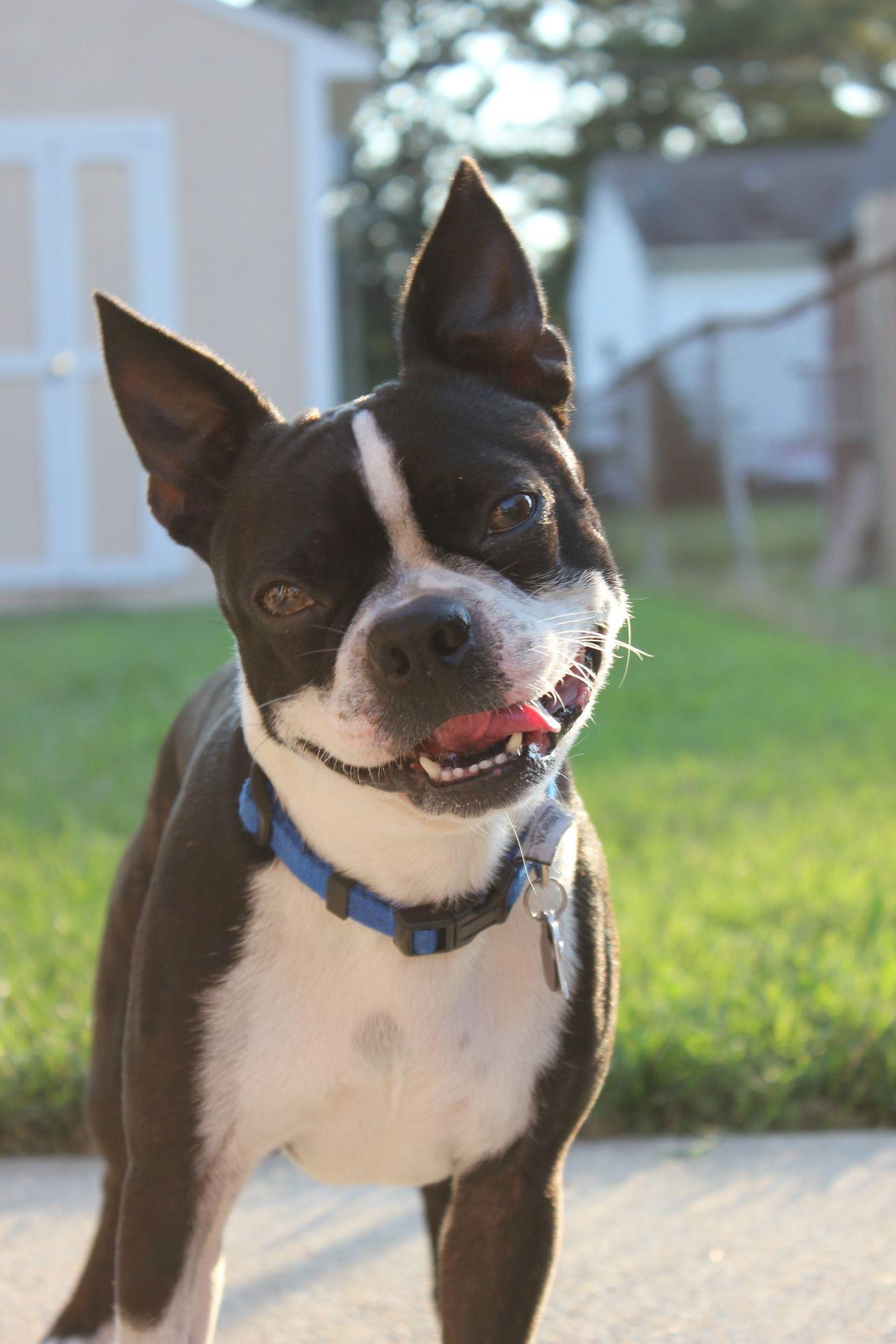 Happy bostie boston terrier boston terrier rescue terrier