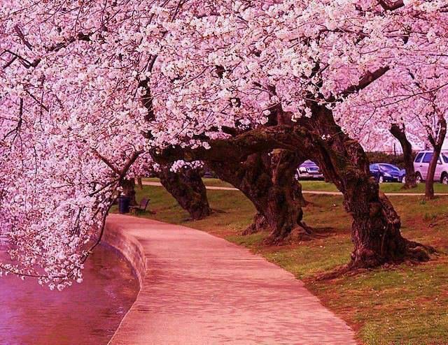 Japanese cherry trees along side the Jefferson Memorial Tidal Basin, Washington DC