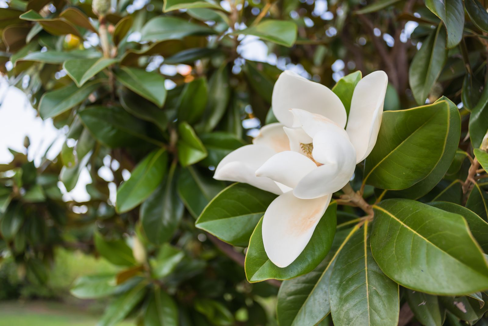 7 Trees And Plants With The Most Invasive Roots Flowering Trees Southern Magnolia Tree Southern Magnolia