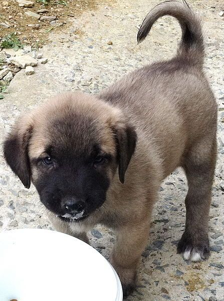 Kangal Puppies For Sale Craigslist : kangal, puppies, craigslist, Signs, Happy, Doggie, Desires, Kangal, Dogs,