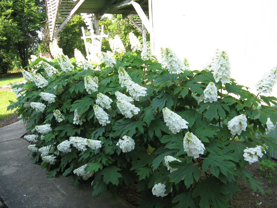 'Gatsby's Gal' oakleaf hydrangea.  i only want it for the name :)