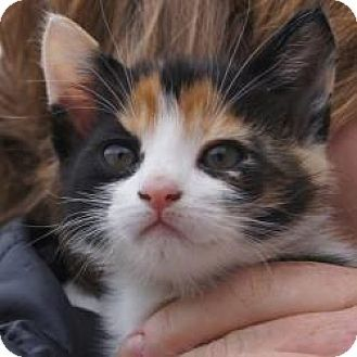 East Brunswick Nj Calico Meet Candy A Kitten For Adoption Http Www Adoptapet Com Pet 13201888 East With Images Kitten Adoption American Shorthair Cat Cat Adoption