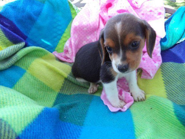 Beagle Puppies For Sale In Sacramento Zoe Fans Blog Beagle