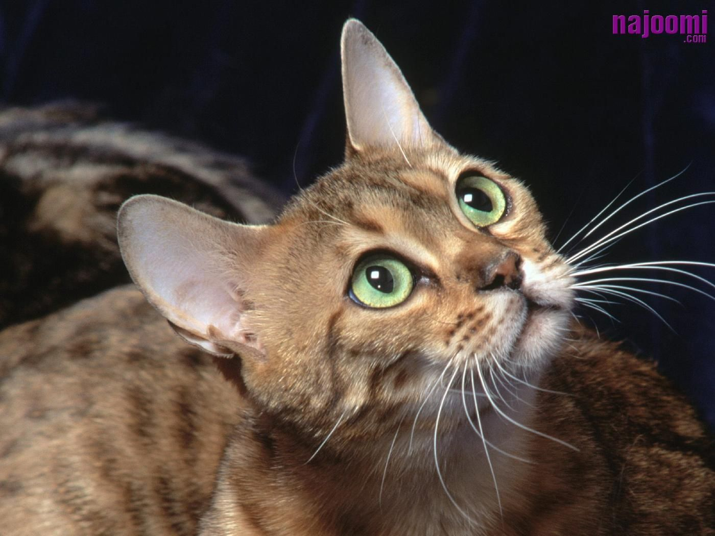 Bengal Cats Funny Cute Cats Dog Breed Info