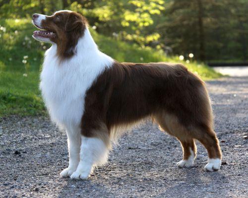 Asca Ch Stormridge S Imperial Pilsner Australian Shepherd Dogs Australian Shepherd Aussie Dogs