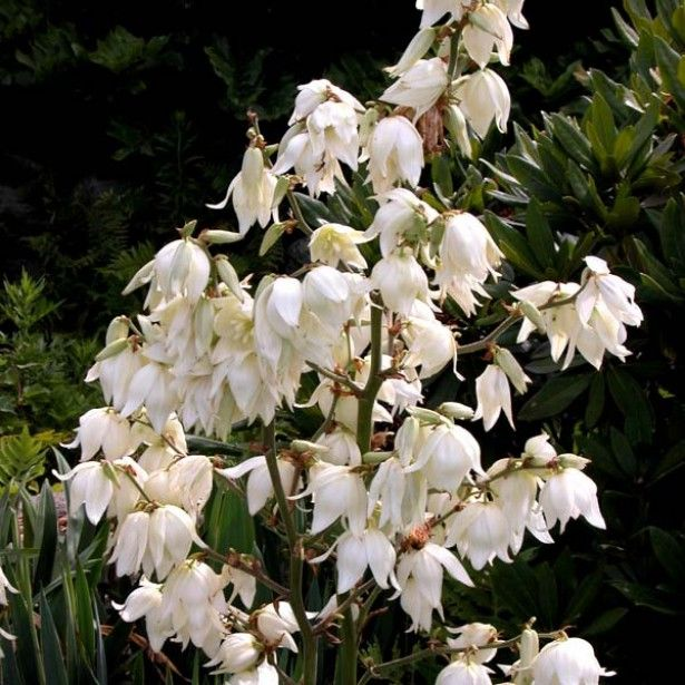 Yucca Filamentosa Jardin Pinterest Yucca Filamentosa And Flowers