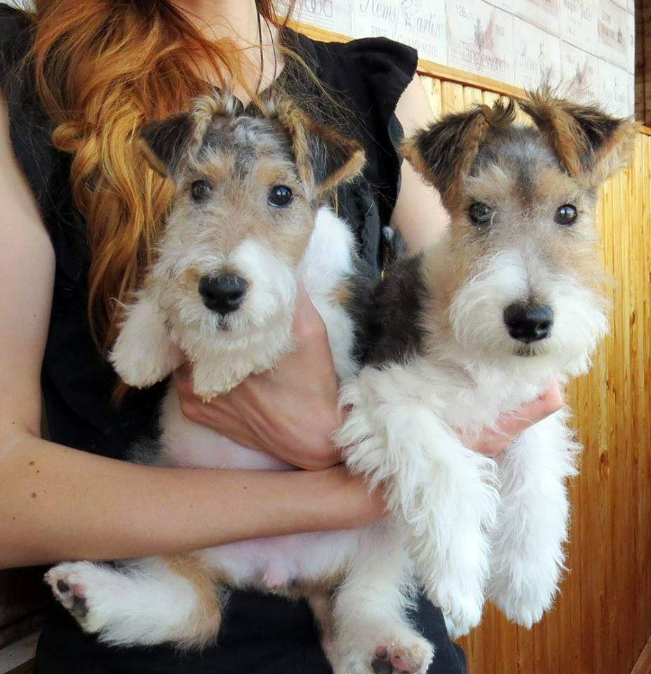 So Cute I Love Wirehair Fox Terriers Andtwo Doubles The Fun