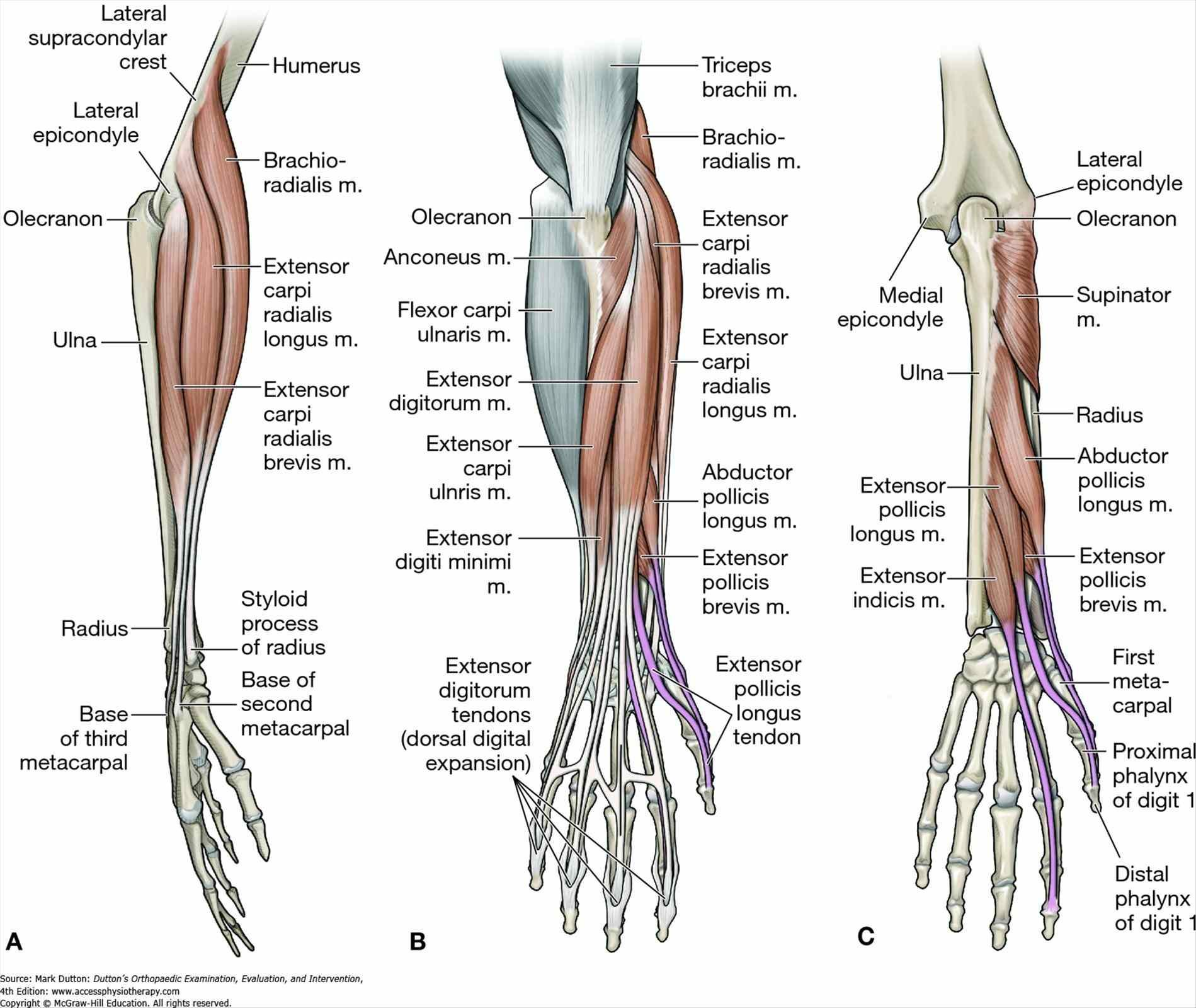 Interior Ligament Google Search Medical Anatomyterminology Wrist
