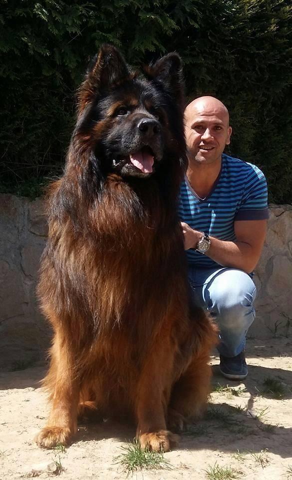 Amazing Long Hair Gsd German Sheperd Dogs German Shepherd Dogs German Shepard Puppies
