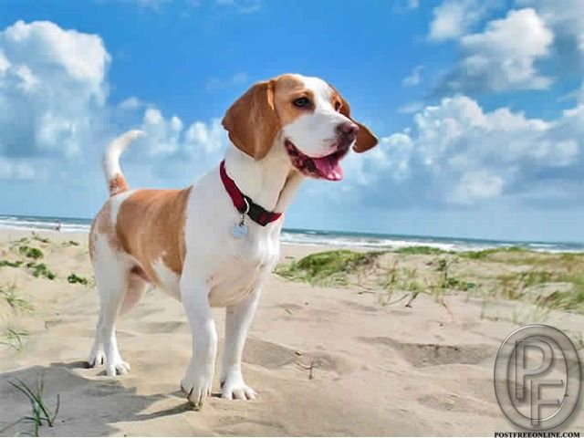 Learn About The Beagle Dog Breed From Market expert in